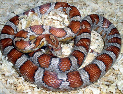 Les serpents des blés